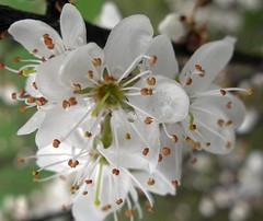 Blossom in Spring
