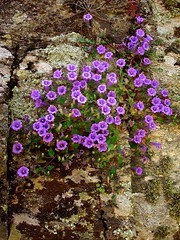 Ikaria 189 (isl_gr (away on an odyssey)) Tags: flower island purple hiking beautyconcealed ikaria  aegean may trails greece blogged campanula tapisserie  hikingikaria  caria calendar2008 campanulalyrata  campanulahagielia