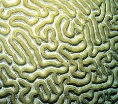Brain Coral by laszlo-photo, on Flickr