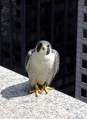 Peregrine Falcon Male - Etienne