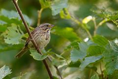 Lincoln's Sparrow | lincolnsparv | Melospiza lincolnii