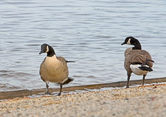 "CRW_0500: Canada Geese • <a style=""font-size:0.8em;"" href=""http://www.flickr.com/photos/54494252@N00/10853738/"" target=""_blank"">View on Flickr</a>"