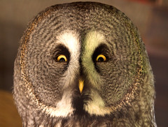 BrianScott - Owl with a very silly face (Flickr)