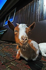 goat see