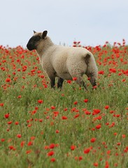 Poppies and Sheep by Victor Keech