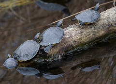 """IMG_3333: Reflecting Turtles • <a style=""""font-size:0.8em;"""" href=""""http://www.flickr.com/photos/54494252@N00/360060106/"""" target=""""_blank"""">View on Flickr</a>"""