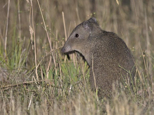 "Long-nosed Potoroo - Bruny Island, Tasmania • <a style=""font-size:0.8em;"" href=""http://www.flickr.com/photos/95790921@N07/32637731345/"" target=""_blank"">View on Flickr</a>"