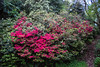 Red Rhodedendrons