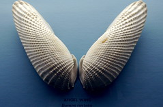 ANGEL WING (Barnea costata)