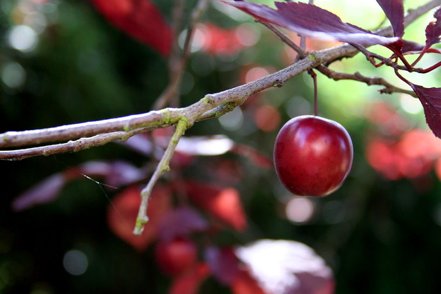 Cherry on tree