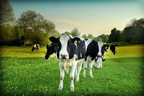 Cow Lomo