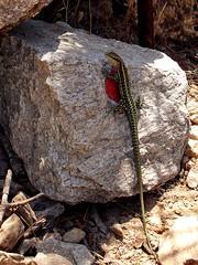Ikaria 265 (isl_gr (away on an odyssey)) Tags: hiking tail beautyconcealed ikaria icaria  aegean trails lizard greece signage balisage hikingikaria     greentailedlizard