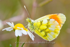 Moroccan Orange Tip (Anthocharis euphenoides)