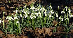 """Das Schneeglöckchen. Die Schneeglöckchen. Die Schneeglöckchen sind willkommene Frühlingsboten. Wenn sie blühen ist der Winter bald vorbei. • <a style=""""font-size:0.8em;"""" href=""""http://www.flickr.com/photos/42554185@N00/32812819580/"""" target=""""_blank"""">View on Flickr</a>"""