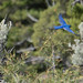"Mountain_bluebird_Sialia_currucoides_2 • <a style=""font-size:0.8em;"" href=""http://www.flickr.com/photos/138604476@N05/23190462154/"" target=""_blank"">View on Flickr</a>"