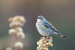 Myrtle Warbler | gulgumpad skogssångare | Setophaga coronata