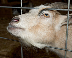 """CRW_1995: Goat • <a style=""""font-size:0.8em;"""" href=""""http://www.flickr.com/photos/54494252@N00/10242271/"""" target=""""_blank"""">View on Flickr</a>"""