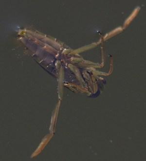 Notonecta glauca (c) Max xx