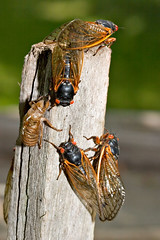 "CRW_2607: Cicadas on Post • <a style=""font-size:0.8em;"" href=""http://www.flickr.com/photos/54494252@N00/9986700/"" target=""_blank"">View on Flickr</a>"