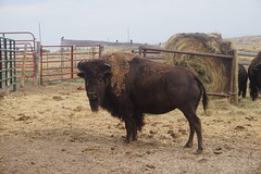 Bison at High Plains Homestead