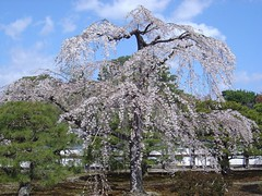 Beautiful cherry blossom tree.