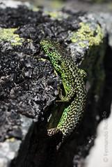 Iberian Rock-Lizard (Iberolacerta monticola)