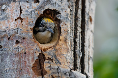 American Three-toed Woodpecker | vedspett | Picoides dorsalis