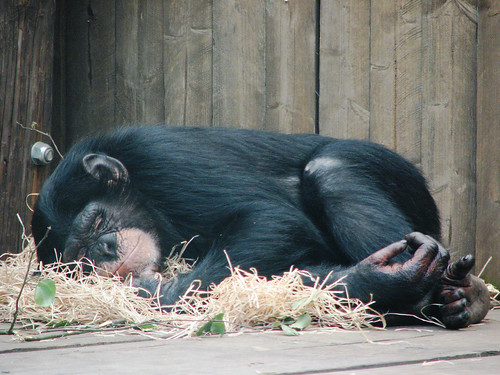 Snoozing chimp