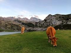 Les vaques #vaca #cow #asturias #covadonga #lagocovadonga #spain #españa