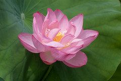 "IMG_0317: Lotus Blossom • <a style=""font-size:0.8em;"" href=""http://www.flickr.com/photos/54494252@N00/198789048/"" target=""_blank"">View on Flickr</a>"