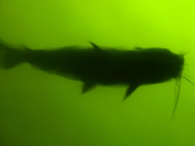 big fish keeps on swimming