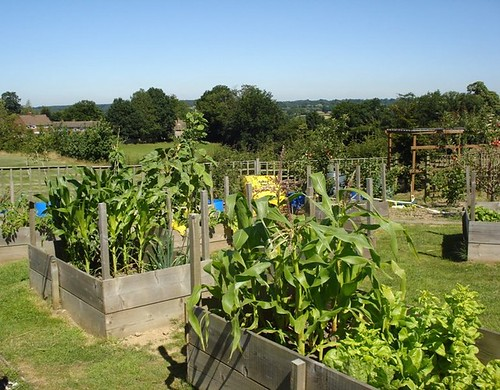 Growing Sweetcorn in our raised beds