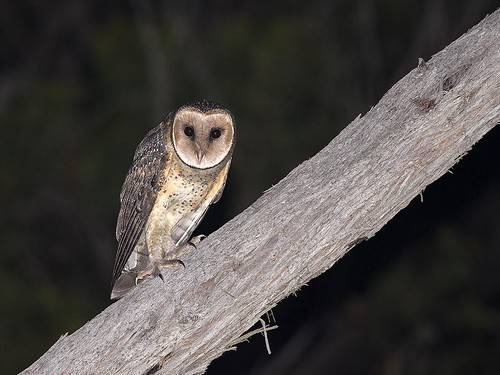 "Australian Masked Owl - Cape Conran area, Vic • <a style=""font-size:0.8em;"" href=""http://www.flickr.com/photos/95790921@N07/31738885680/"" target=""_blank"">View on Flickr</a>"