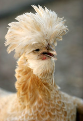 Chicken A Go-Go by Domain Barnyard