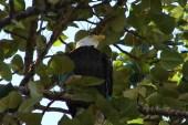 Vanier Park Eagle