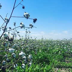 Cotton fields for miles down here. U.S. 59 in Beasley, TX. #TheWorldWalk #travel #twwphotos