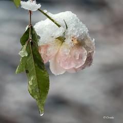 Roos in de sneeuw.