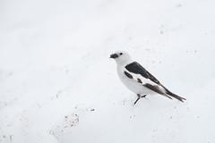 Snow Bunting | snösparv | Plectrophenax nivalis