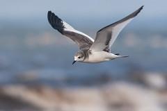 Sabine's Gull | tärnmås | Xema sabini