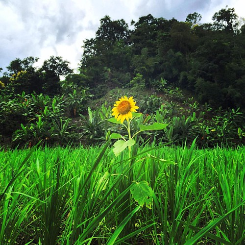 #Sunflower  @ #Jungle #ChangMai #Thailand  #thailoup #traveloup