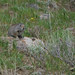 "Ground_squirrel • <a style=""font-size:0.8em;"" href=""http://www.flickr.com/photos/138604476@N05/23710004782/"" target=""_blank"">View on Flickr</a>"