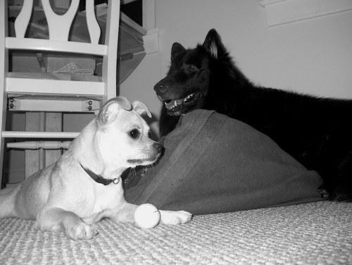 Black & Tan in Black & White