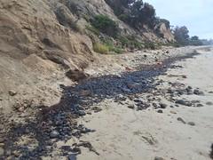 Oiled cobble S terminus of beach Summerland 08-22-15b