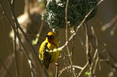 Cape Weaver Birds
