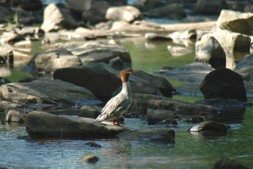 Mamma Common Merganser