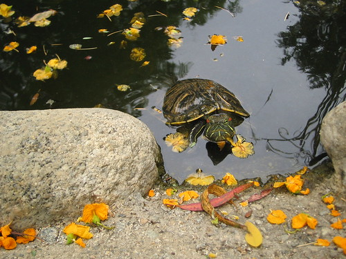 Turtle in pond with yellow petals