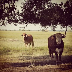 Don't give the man of the house no bull. On Rt. 90 outside Iowa, LA. #TheWorldWalk #travel #twwphotos
