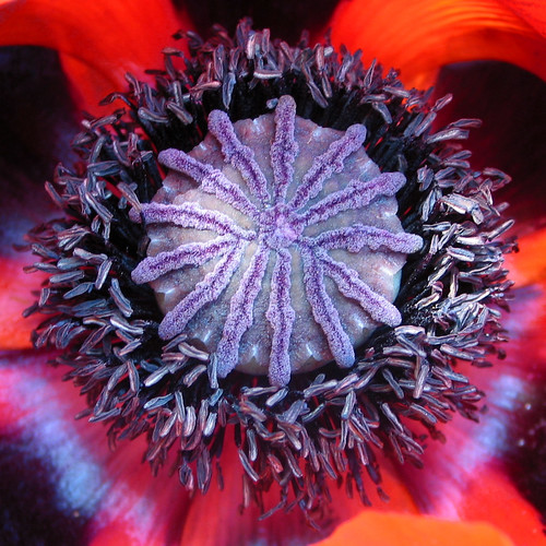Papaver hart / big poppy-heart