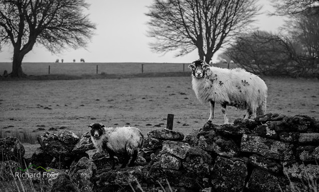 Wot no sheep