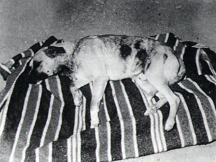 Perro atacado por Chupacabras